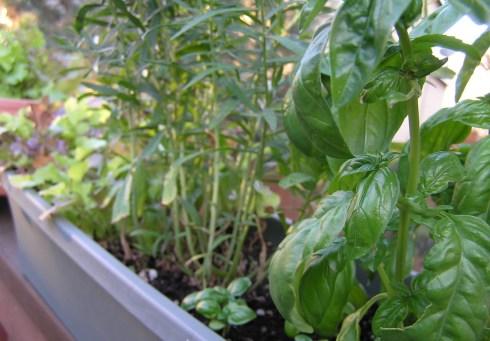 Basil, Tarragon, Lettuce