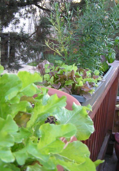 Leaf Lettuce, Red Leaf Lettuce, Tarragon, Basil