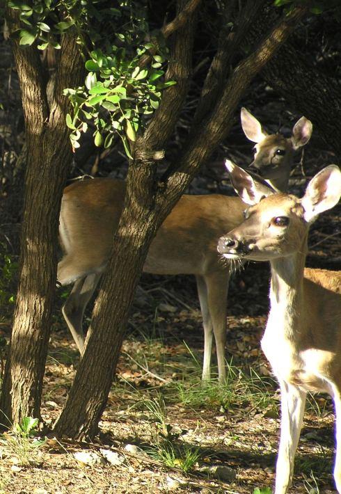 Wimberley Deer