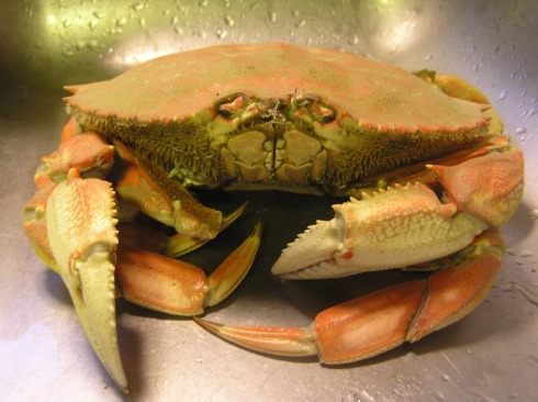 Dungeness Crab Freshly Cooked