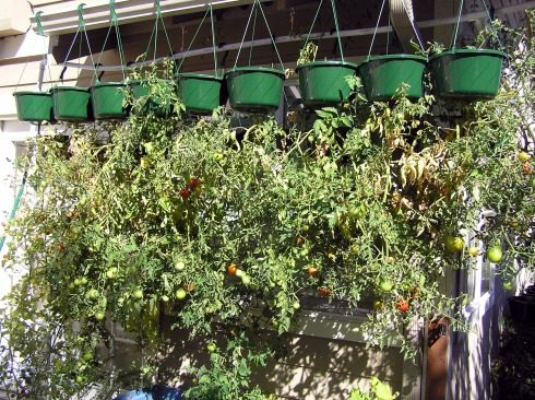 Hanging Tomato Plants on Deck