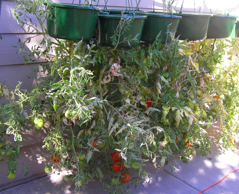 Hanging Tomato Plants on Side of House