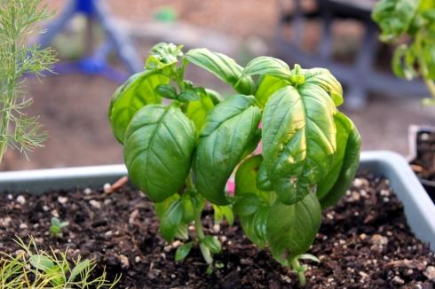 Fresh Basil in Herb Garden