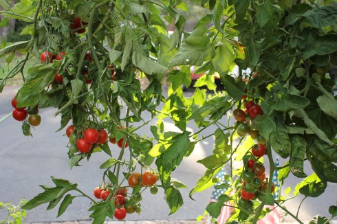 Hanging Tomato Plants