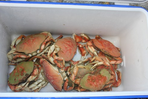 Our Dungeness crab haul for the day